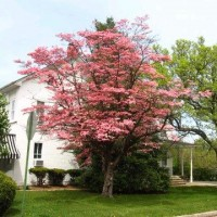 dogwood-tree1